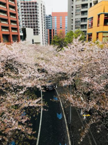 Sakura week. I hope everyone's enjoying Sakura season !